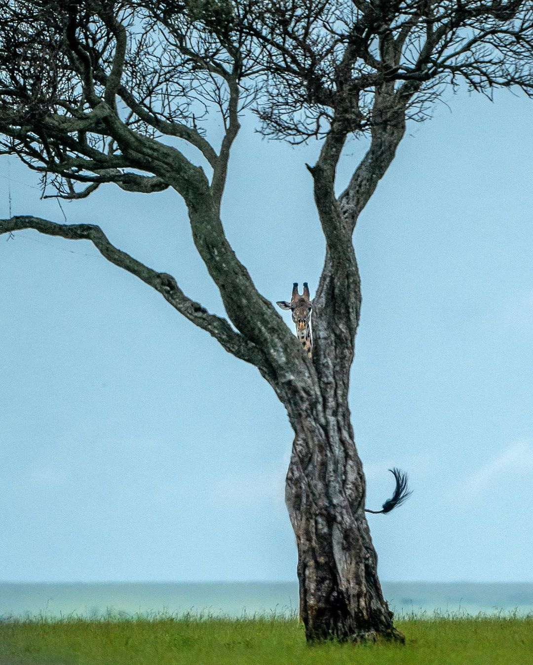 1080x1349, 498 Kb / жираф, дерево