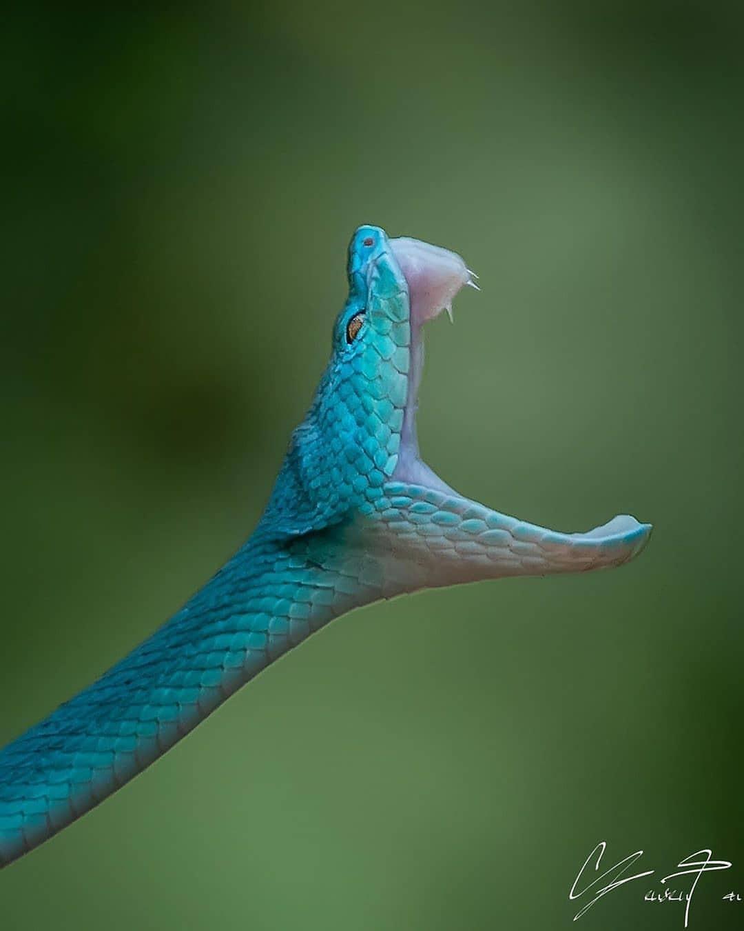 1080x1350, 55 Kb / змея, пасть, бросок, голубая комодская куфия