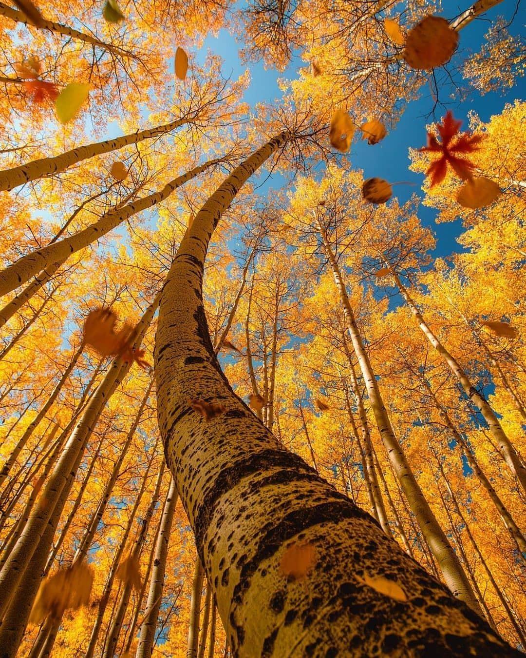 1080x1349, 462 Kb / дерево, ствол, изгиб, листья, берёза, желтый, снизу, осень